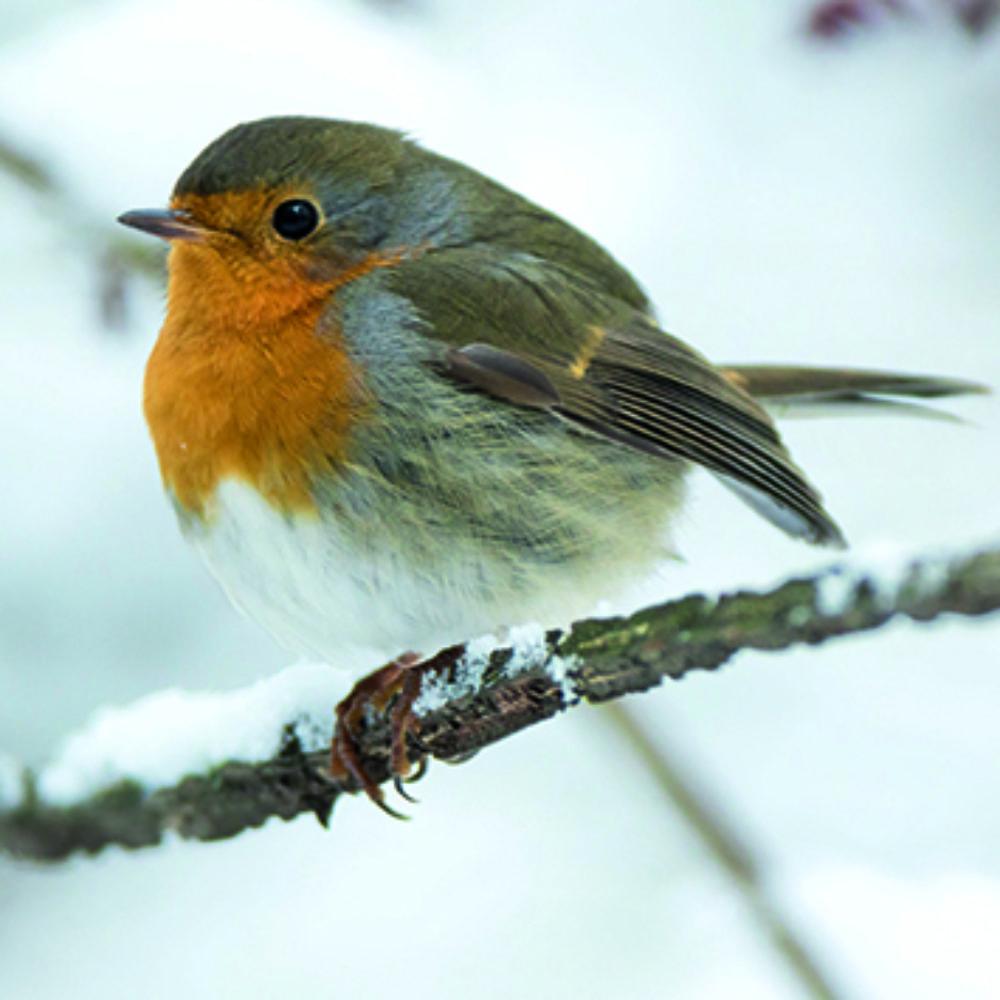 snowy-robin-christmas-cards